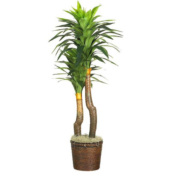 indoor yucca plant care